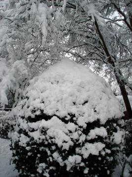 snow-holly-bush-100213