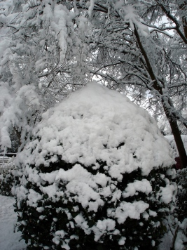 snow-holly-bush-100213