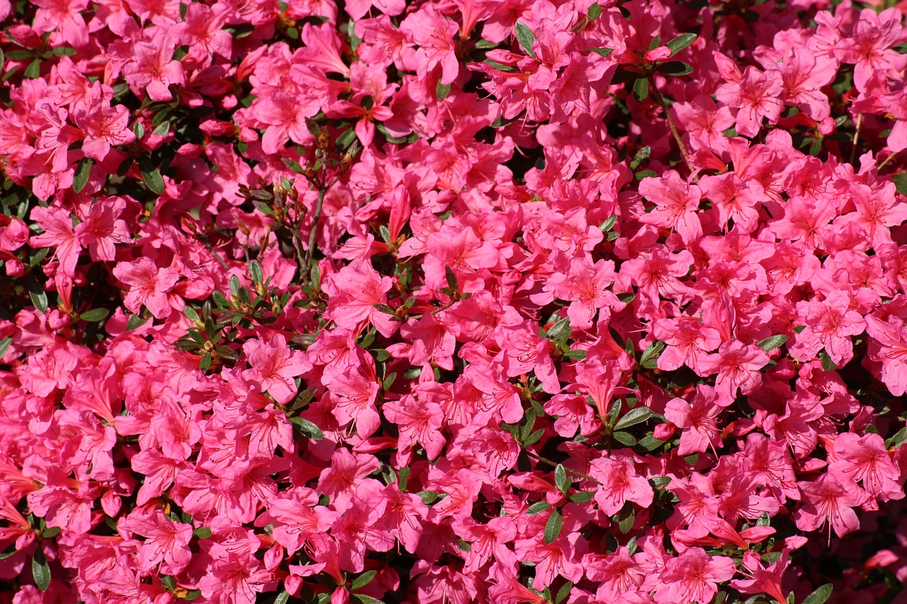 Deep pink azalea blooms